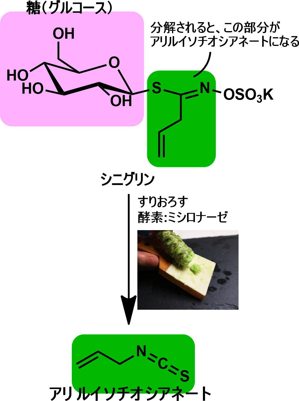 わさびをすり下ろすと酵素によりアリルイソチオシアネートが生成