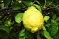 シトロンの果実